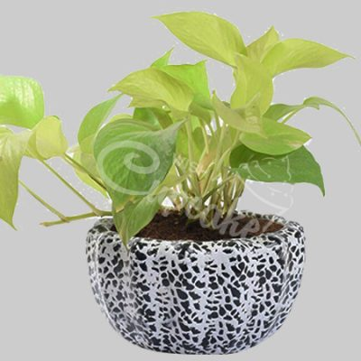 Dotted classy golden pothos