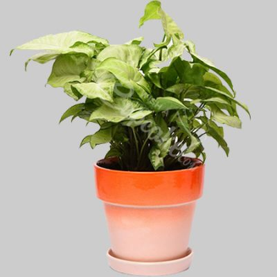 WACC SPECIAL syngonium with Orange tangy