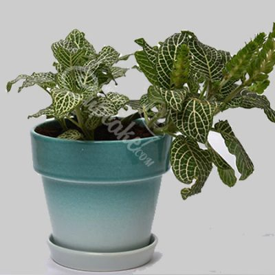 WACC SPECIAL Fittonia with Green Finish