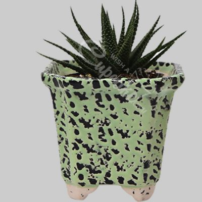 WACC SPECIAL Succulent with lots of joy