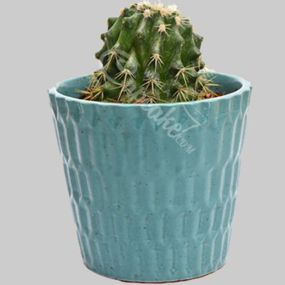 WACC SPECIAL Cactus smarty blueish