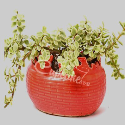 WACC SPECIAL Jade Plant with Red Feel