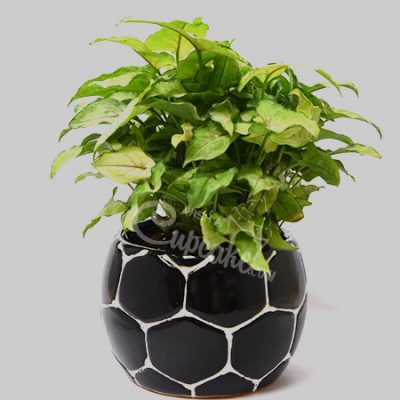 WACC SPECIAL Syngonium with Black football shape