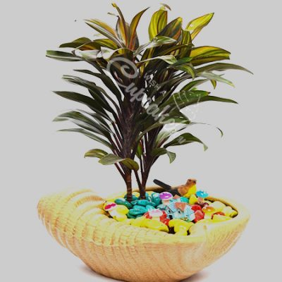 WACC SPECIAL Cordyline with Sea Feel
