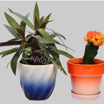 WACC SPECIAL Combo with Tradescantia and Cactus