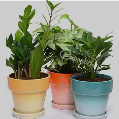 WACC SPECIAL Combo with Syngonium,ZZ Plant and Spathyphyllum